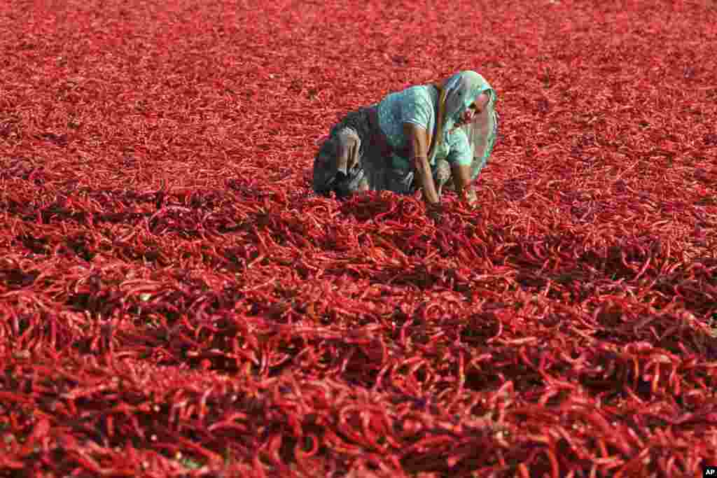 Seorang buruh perempuan India mengeringkan cabai merah di bawah panas matahari di Desa Shertha, di luar kota Ahmedabad.