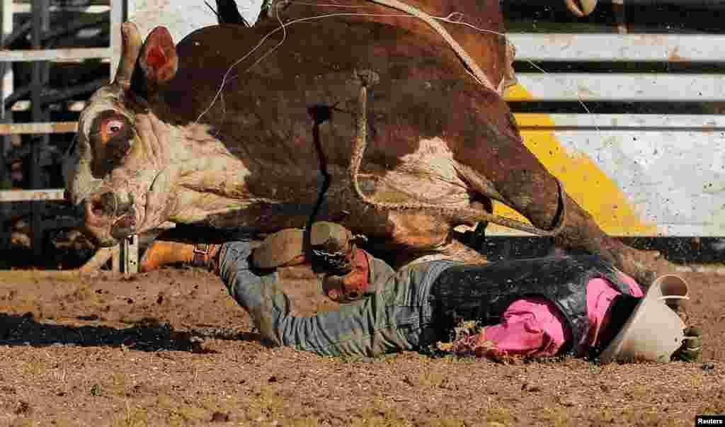 Seorang pria Aborigin Sally Malay terjatuh saat berusaha menaiki banteng liar dalam lomba di Deniliquin, New South Wales, Australia.