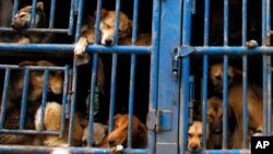 کتے کھانے کے چینی تہوارکے خلاف احتجاج