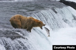 Brown bears catch salmon in Katmai National Park and Preserve in Alaska. (Photo by Brad Ohlund, Courtesy of MacGillivray Freeman Films)