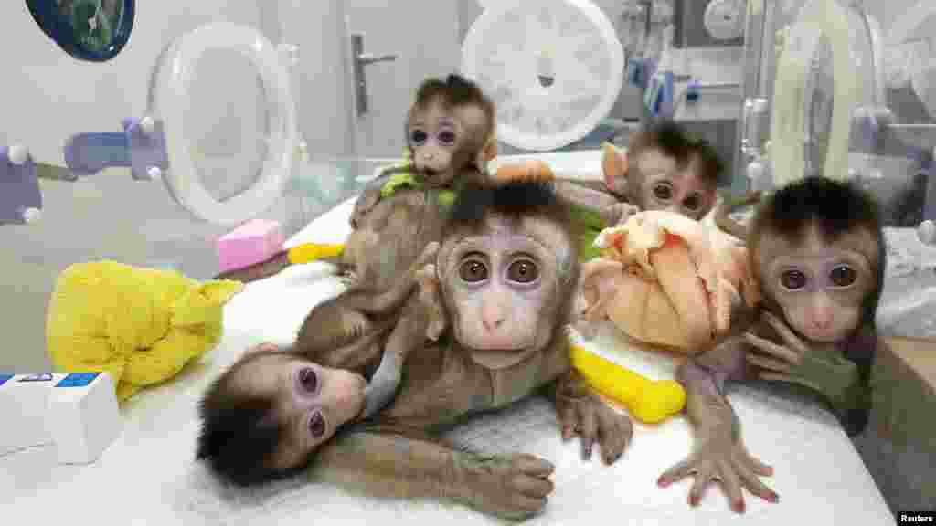 Monkeys cloned from a gene-edited macaque with circadian rhythm disorders are seen at the Chinese Academy of Sciences in Shanghai, China, in this handout picture provided by the Institute of Neuroscience of the Chinese Academy of Sciences.