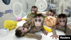 中国科学家在上海展示的生物节律紊乱体细胞克隆猴(2019年1月4日)