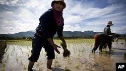 Rižina polja u Tajlandu
