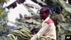 Banana farmer in Africa