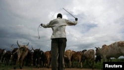 FILE - An Uganda man walks his cattle in northern Uganda town of Gulu, June 12, 2007.