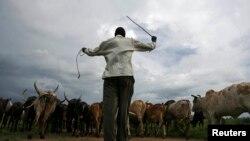 FILE - An Uganda man walks his cattle in northern Uganda town of Gulu, June 12, 2007.