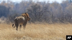 "FILE - A lion walks through scorched grass towards shade, Aug. 6, 2015. A South African lion called ""Sylvester"", who was on the loose for three weeks last year, has escaped from his game reserve again and is wandering a sparsely-populated mountain region, South African National Parks said."