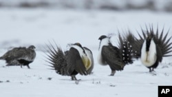 FILE - In this April 20, 2013, photo, male greater sage grouse perform their mating ritual for a female grouse outside Walden, Colo.