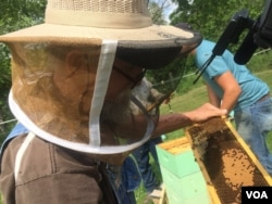 Former coal miner James Scyphers looks for the Queen bee from his beehive in West Virginia. (J.Taboh/VOA)