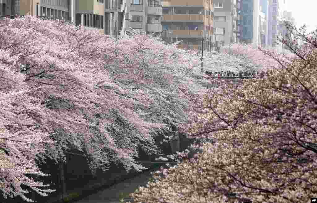 Warga Jepang menikmati bunga-bunga sakura yang bermekaran penuh di Tokyo.