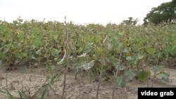 馬里蘭州的東岸地區農民們遭到地面的漲潮洪水和苦澀地下水的雙重襲擊,農產損失正隨著氣候變化而加劇。(視頻截圖)
