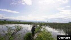 Seorang warga berjalan di antara pematang sawah yang tidak bisa diolah sejak Juli 2020 karena terendam air danau Poso. Jumat, 6 November 2020. (Foto: Mosintuwu/RayRarea)