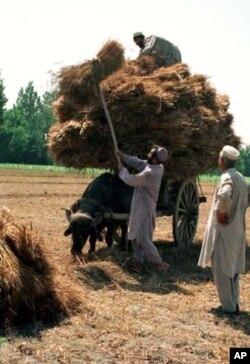 پنجاب میں یوریا کھاد نایاب ہوگئی