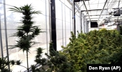 Hemp plants sit at the Unique Botanicals facility in Springfield, Oregon.