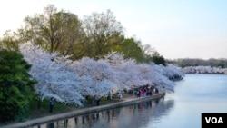 Bunga-bunga sakura bermekaran di sekeliling Tidal Basin di Washington, DC.