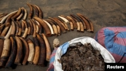 FILE - Bags of pangolin scales are pictured next to elephant tusks seized from traffickers by Ivorian wildlife agents, Abidjan, Ivory Coast, Jan. 25, 2018.