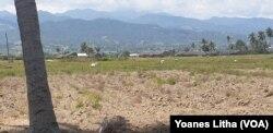 Bagian dari areal persawahan yang mengalami kekeringan di desa Karawana Kabupaten Sigi, Sulawesi Tengah, (15/8). Kawasan ini mengalami kekeringan akibat tidak lagi mendapatkan pasokan air dari saluran irigasi gumbasa akibat gempa bumi 28 September 2018. (Foto: VOA/Yoanes Litha)