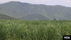 A sugar farm belonging to CPP Senator Ly Yong Phat, in Kampong Speu province, Cambodia, August 24, 2018. (Sun Narin/VOA Khmer)