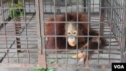 Anak orangutan bermana Damai di ruang nursery Kebun Binatang Surabaya. (VOA/Petrus Riski)