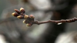 Вашингтон: цветение сакуры откладывается