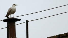 A seagull rests on the chimney of the Sistine Chapel at the Vatican, March 13, 2013.
