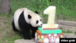 """华盛顿国家动物园的大熊猫""""美香""""星期五再添后代。图为国家动物园为已经前往中国的熊猫贝贝、也是美香的前一个孩子庆贺首个生日资料照"""