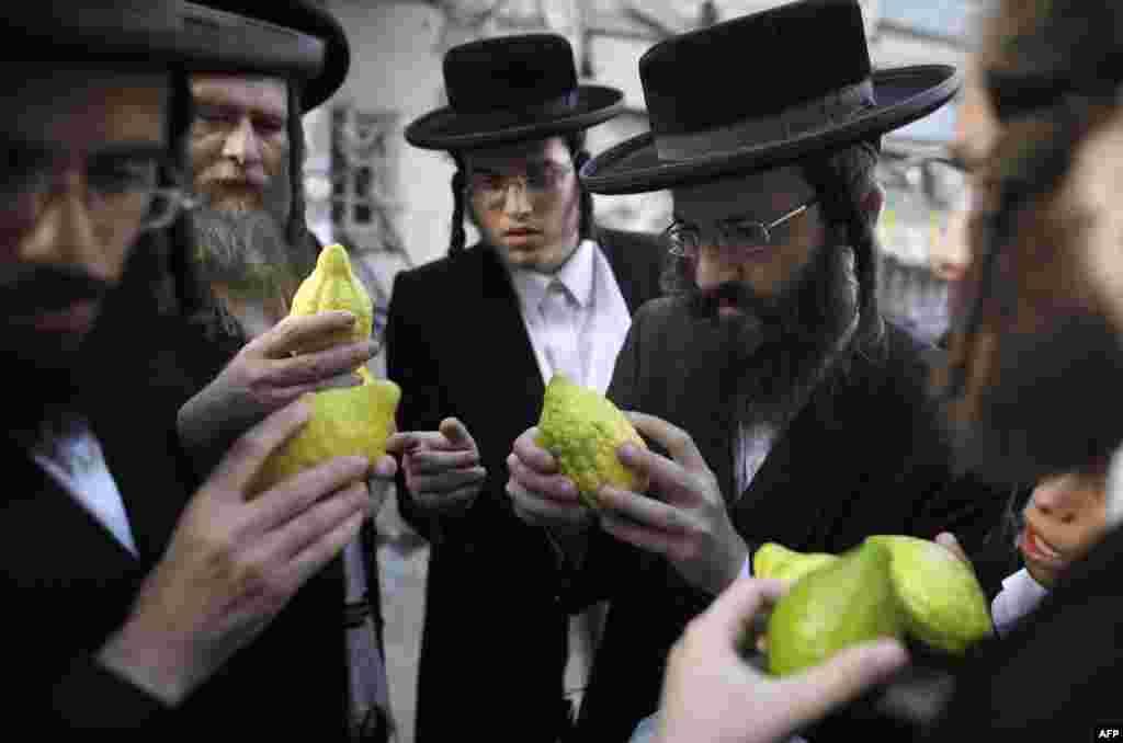 예루살렘의 초정통파 유대교인들이 전통 수확축제인 '수콧' 시기에 먹을 시트론 과일을 살피고 있다.