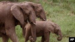 南非大象 (资料照片)