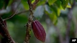 Coklat Venezuela