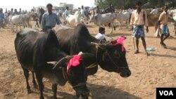 Sebuah pasar hewan di negara bagian Bengal Barat menjual sapi-sapi korban menjelang IIdul Adha, 19 September 2015 (Photo: VOA/ S. Rahman)