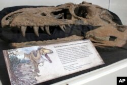 "The skull of a tyrannosaur nicknamed the ""Bisti Beast"" is on display at the New Mexico Museum of Natural History and Science in Albuquerque, N.M., Aug. 15, 2017."