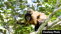 Seven teeth found during excavations involving the Panama Canal's expansion show monkeys resembling today's capuchins, pictured, traveled from South America to North America before the two continents joined together. (File photo by Luciano Candisan)