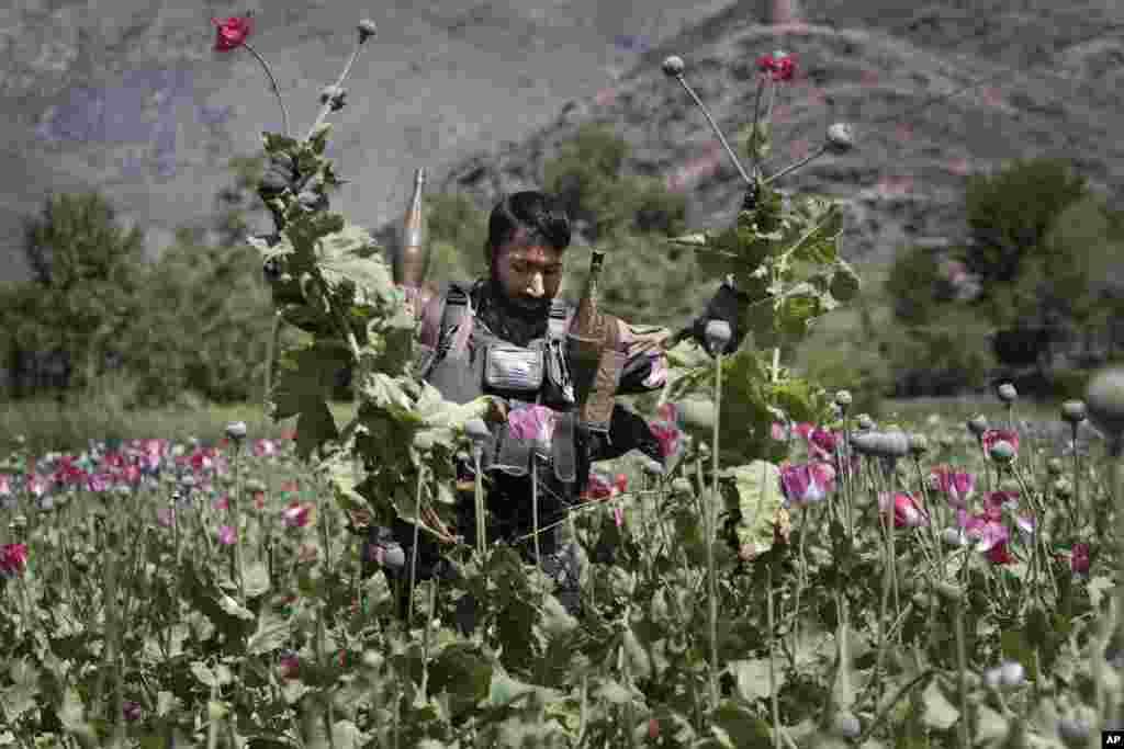 A heavily armed Afghan policeman destroys an opium poppy field in Noorgal district of Kunar province, east of Kabul, Afghanistan.