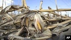 Seca destruiu colheitas