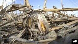 Una plantación de maíz debilitada por la sequía en Bennington, Nebraska. La economía ha sido golpeada al reducirse la producción agrícola.
