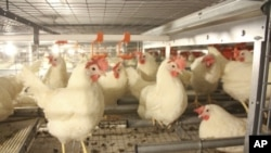 """Larger, """"enriched"""" cages have perches, scratching areas, nesting boxes and room for the hens to raise their wings."""