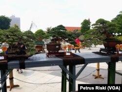 Beberapa tanaman bonsai yang dipamerkan dan dilombakan pada Festival Bonsai Nusantara di halaman Taman Surya Balai Kota Surabaya (foto: VOA/Petrus Riski)