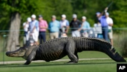 Un caimán cruza el campo de golf durante el PGA Tour Zurich Classic en Avondale, Luisiana en 2013.