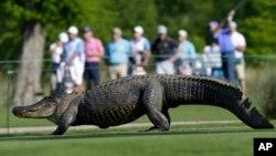 На фото: алігатор на полі з гольфу у штаті Флорида