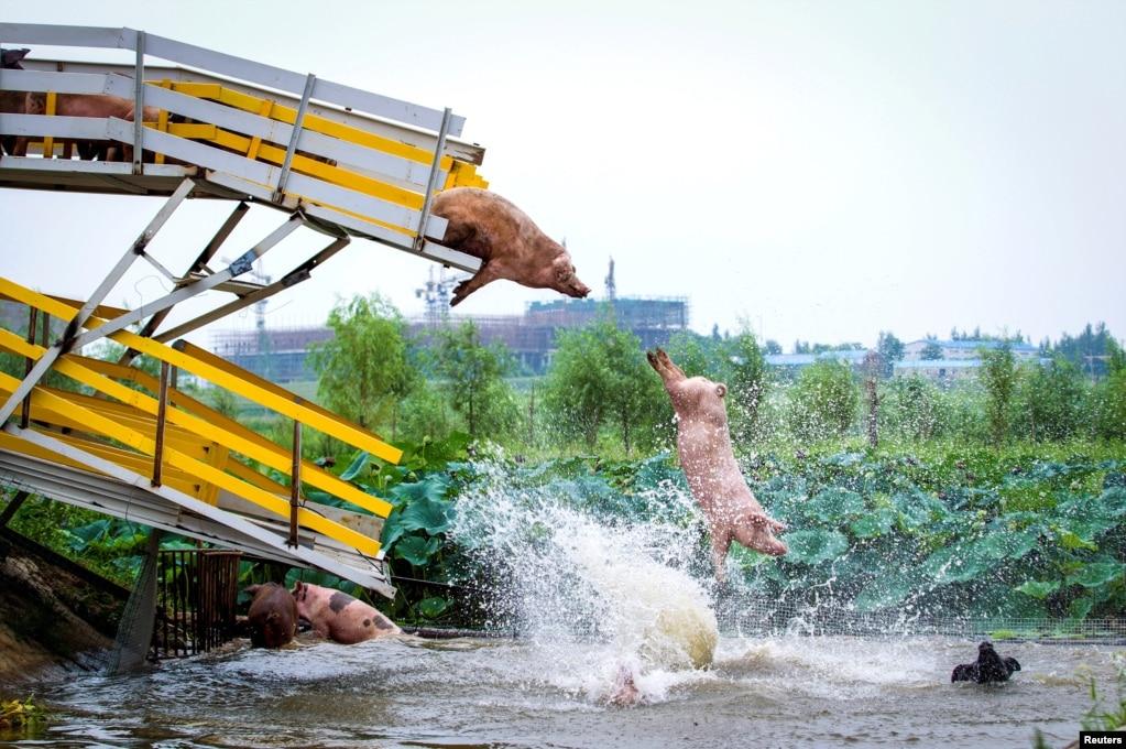 """2017年8月14日,中国辽宁省沈阳市养猪场,养猪者让猪""""跳水"""",这是猪群的每日健身锻炼。"""