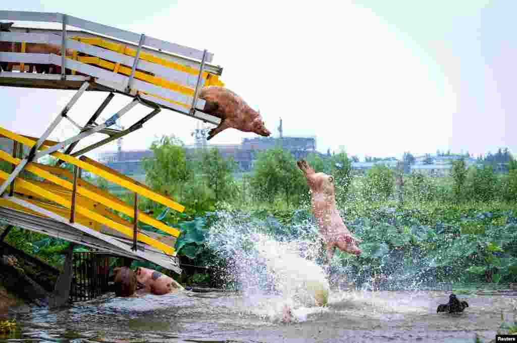 Çin'in Liaoning eyaletinin Shenyang kentindeki bi domuz çiftliğinde yetiştiricileri domuzları günlük egzersiz sırasında bir platformdan suya itiyor.