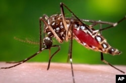 FILE - This 2006 file photo provided by the Centers for Disease Control and Prevention shows a female Aedes aegypti mosquito in the process of acquiring a blood meal from a human host.