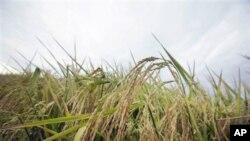 Un champ de riz dans l'Etat américain de l'Arkansas