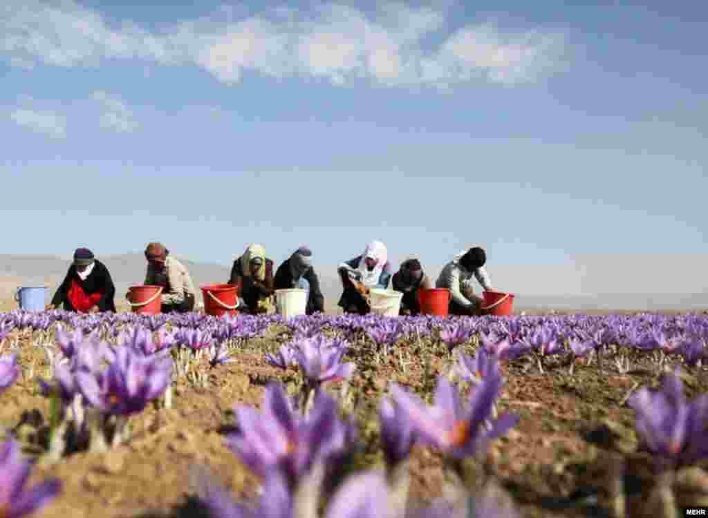 برداشت زعفران در تربت حیدریه، خراسان ایران. این زعفران به ۴۵ کشور جهان صادر می شود. عکس: سعید گلی