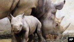 Empat badak bercula ditembak dan diambil culanya di Taman Nasional Kaziranga, Assam, India. (Foto: Dok)