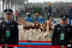 FILE - Customs officers stand guard in front of some illegal ivory during destruction in Dongguan, southern Guangdong province, China Monday, Jan. 6, 2014.