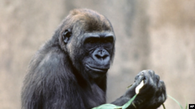 Kamilah, a 34-year old female lowland gorilla who lives in the San Diego Zoo, is the first gorilla to have her genome sequenced.