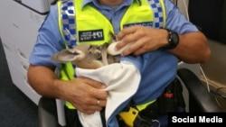 کیوجو کانگوروی نجات یافته استرالیا