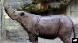 Suci, badak Sumatera betina yang dipelihara oleh Kebun Binatang Cincinnati Zoo di Ohio. (AP/Al Behrman)