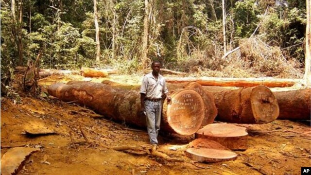In this undated handout photo provided by ITTO (International Tropical Timber Organization) website, a man is seen standing in a clearing in tropical forest  in an unknown location in Cameroon, Africa.  Large swaths of the world's tropical forests have been officially shielded from deforestation, but an international organization says that may not be enough.